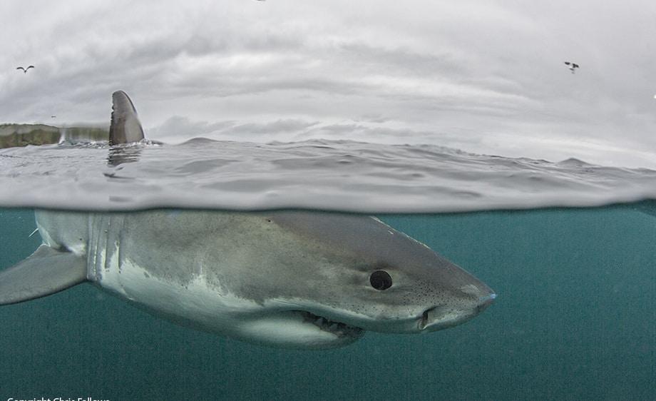 Great White Shark Split Image