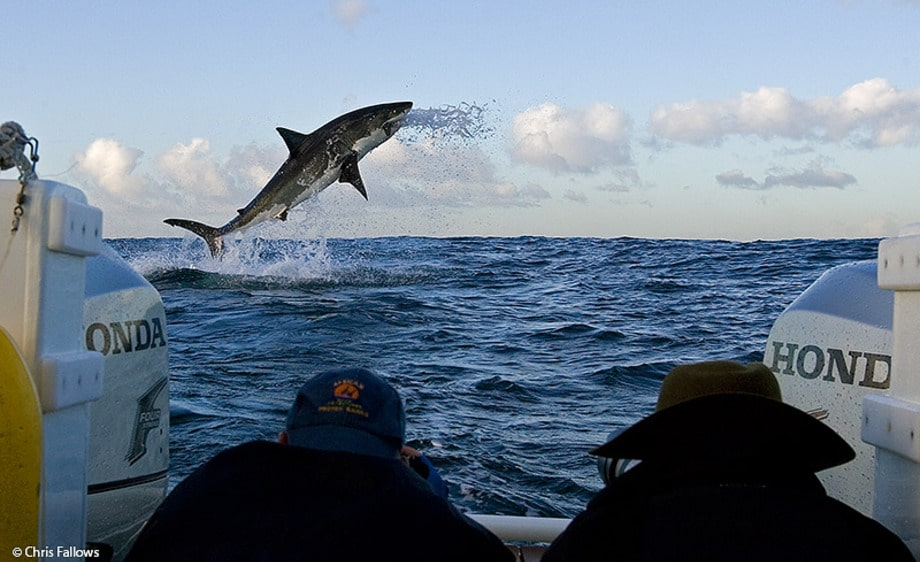 Great White Shark Breaching Seal Island South Africa