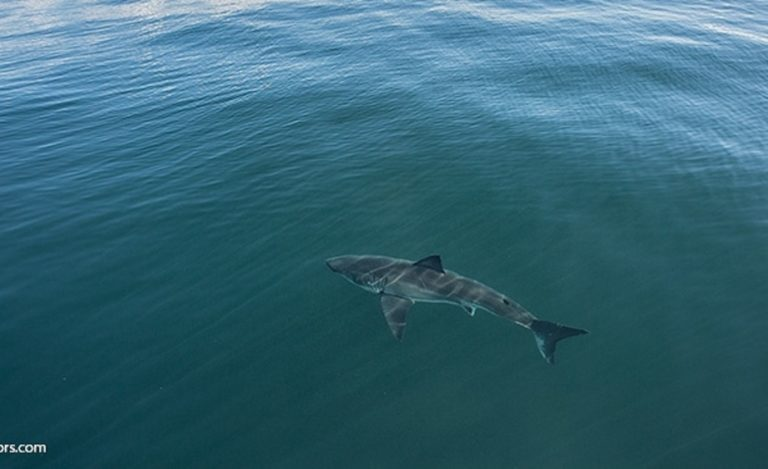 Great White Shark Aerial View
