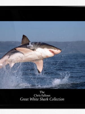 Great white shark collection